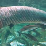 ピラルクーにオススメの餌とは?ピラルクーを飼育するときにオススメの餌を紹介