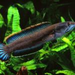 スネークヘッド最大の魚!レッドスネークヘッドの特徴と飼育方法を紹介!!