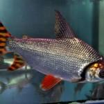 カラープロキロダスってどんな魚?カラープロキロダスの特徴と飼育方法を紹介