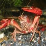 アロワナの餌におすすめのザリガニの保存方法と繁殖方法